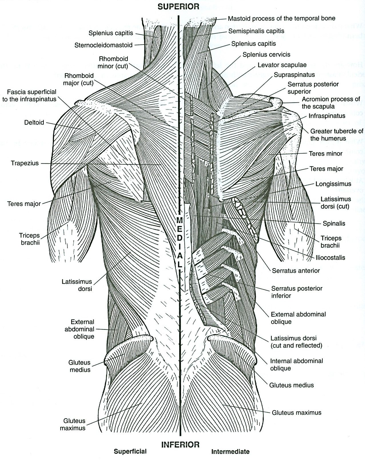 - Musculoskeletal Anatomy Coloring Book. 2nd Ed. Http://kmelot