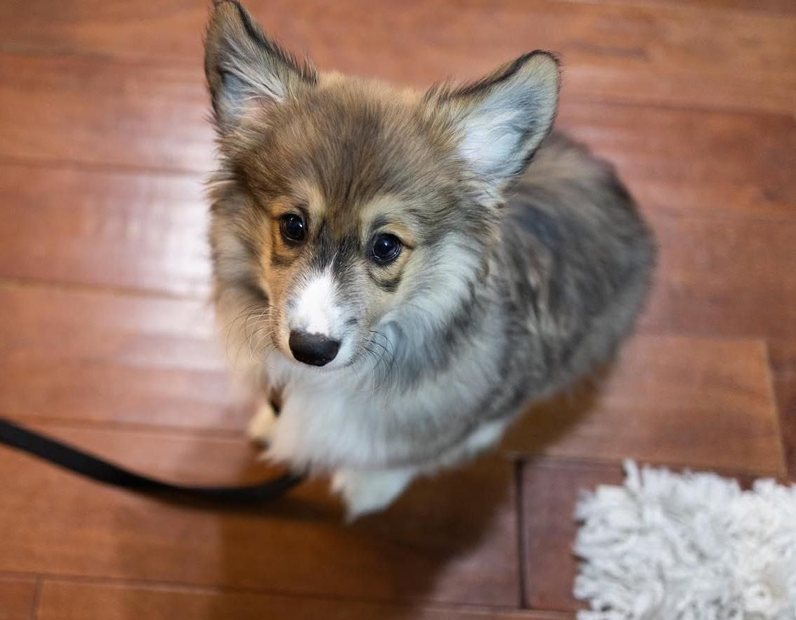 Meet Watson the Fluffy Corgi