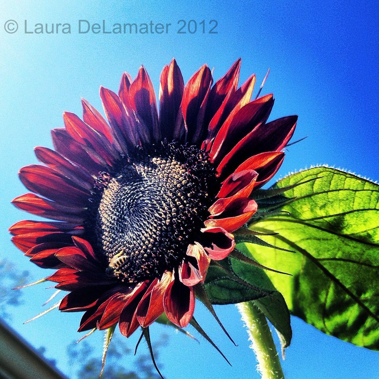 Sun kissed sun flower.   Girassol