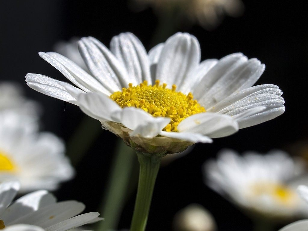 Daisy Flowers Petals Flowers Wallpaper Flowers Wallpapers