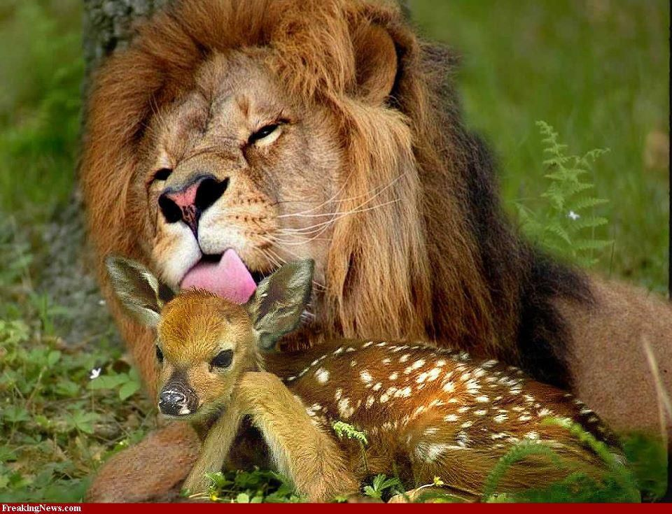 deer and mountain lion relationship