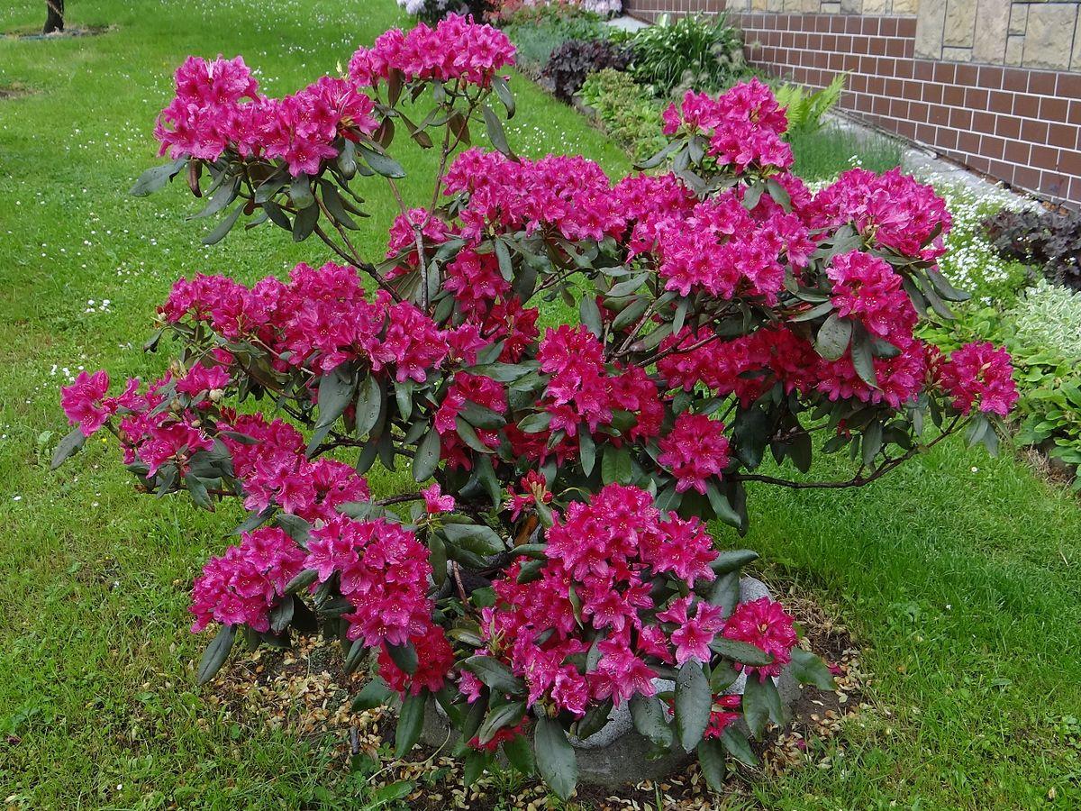 die besten 25 rhododendron nova zembla ideen auf pinterest rhododendron pflanze lila. Black Bedroom Furniture Sets. Home Design Ideas