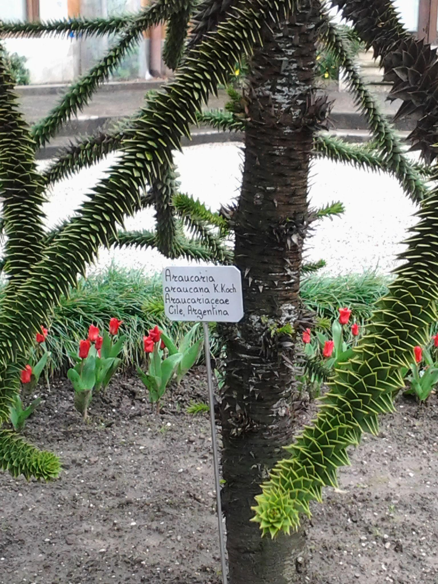 Piante succulente che sembrano conifere.