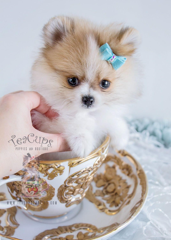 Beautiful Teacup Pomeranian puppy!