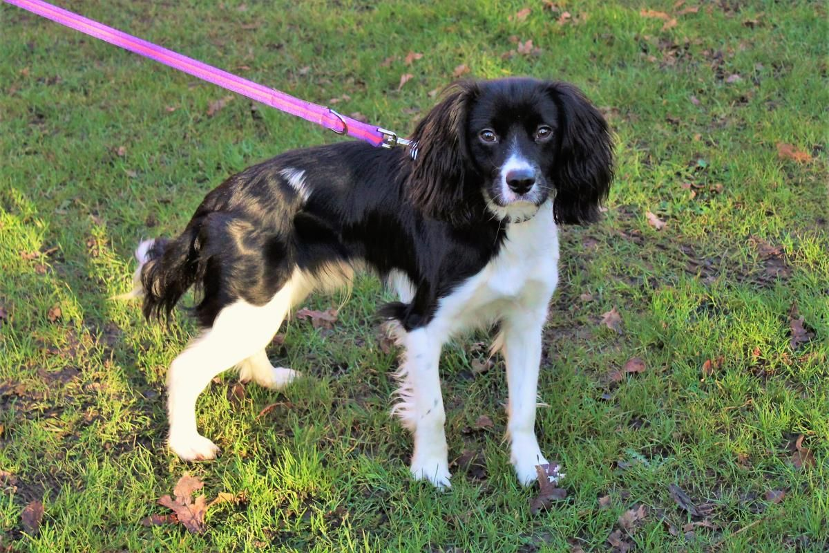 Adopt A Dog Cookie Spaniel Cross Dogs Trust In 2020 Dog Adoption Dogs Dog School