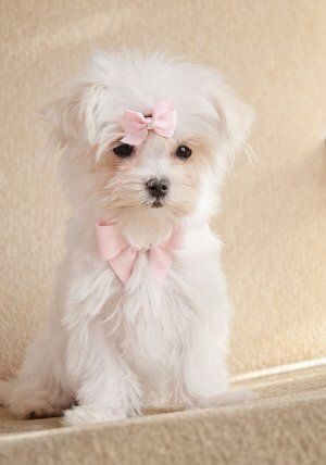 Little Princess With Images Teacup Puppies Maltese Maltese Puppy Maltese Dogs
