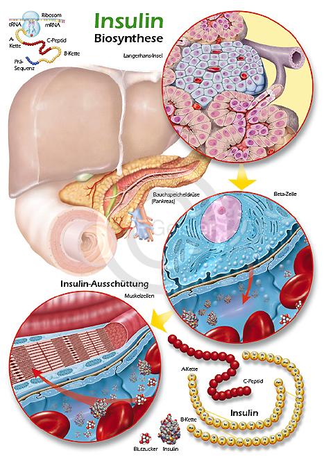 Physiologie-Poster für Biochemie und Pharmazie, Biosynthese des ...