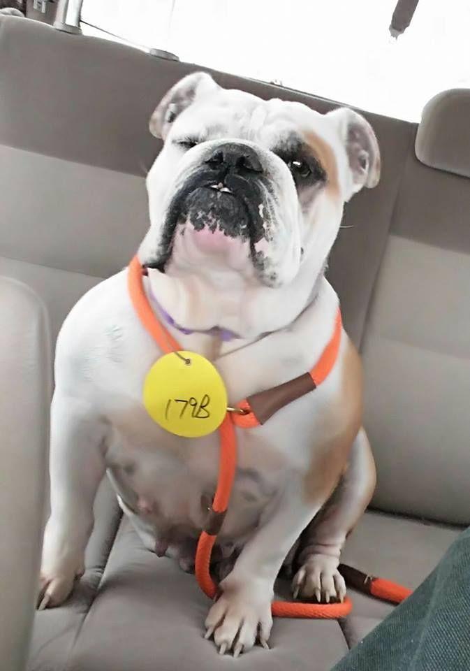 Bulldog Dog For Adoption In St Louis Park Mn Adn 419131 On