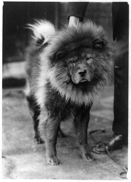 C 1920s Flapper Era Unknown Chow Chow Dog Lion Dog Historical