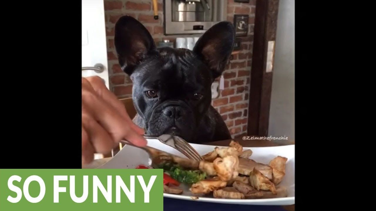Video Watch As This Cutie Little French Bulldog Not Fooled Into