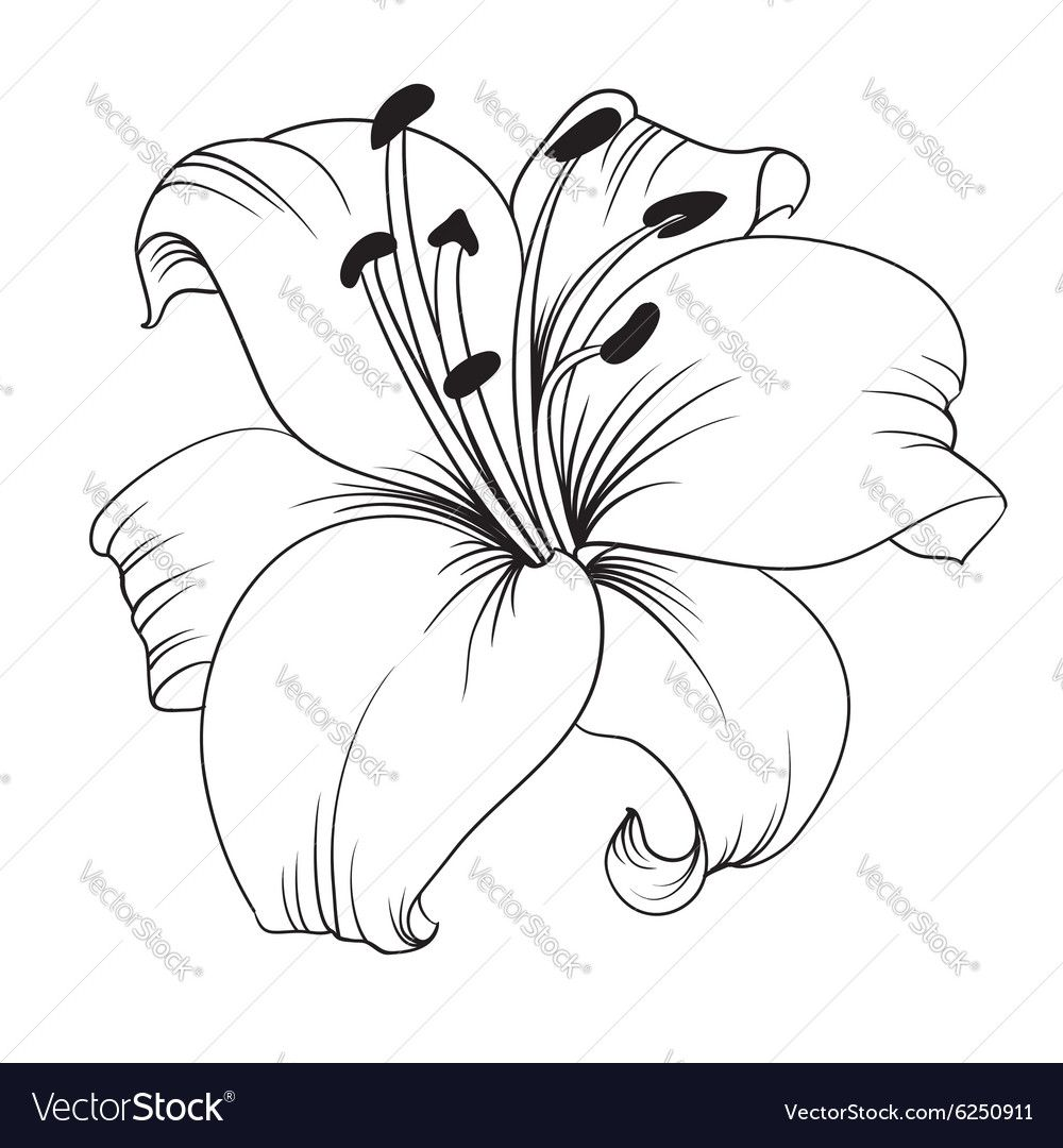 White lily vector image on VectorStock Lilies drawing