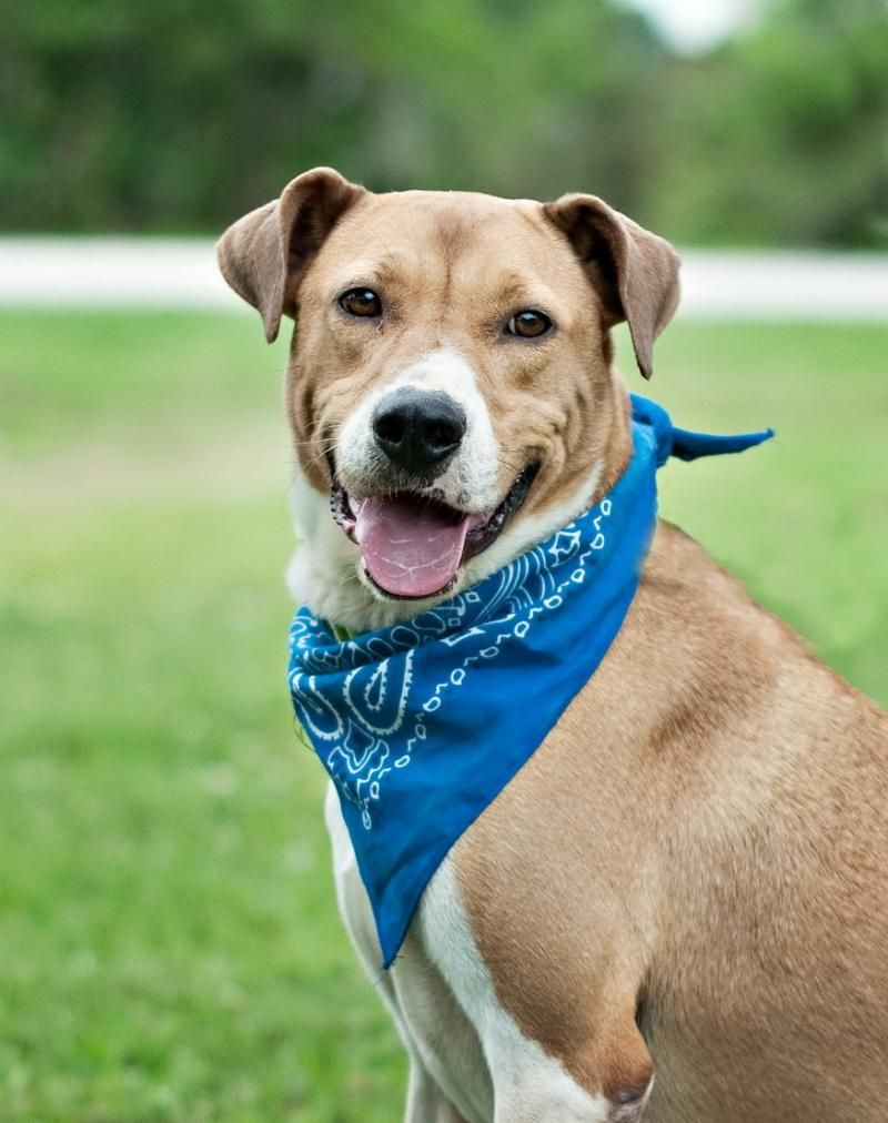Adopt Kirby on Boxer terrier mix, Animals, Pets 3