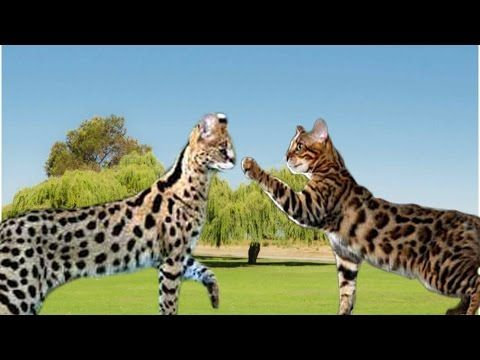 Wow Bengal Cats Size And Weight Youtube Savannah Cat Bengal Cat Bengal Cat Personality