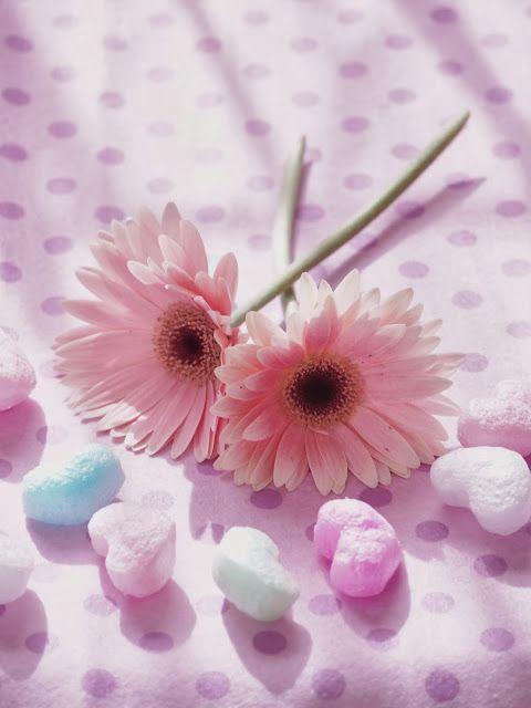やわらかい時間 ガーベラの花 ガーベラ きれいな花 ガーベラ ピンク