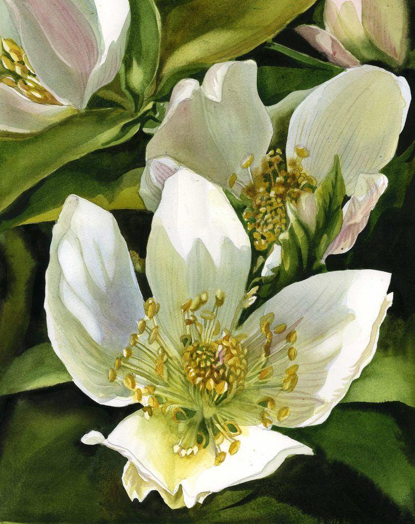 winter rose ( hellebore) watercolor Hellebore is from