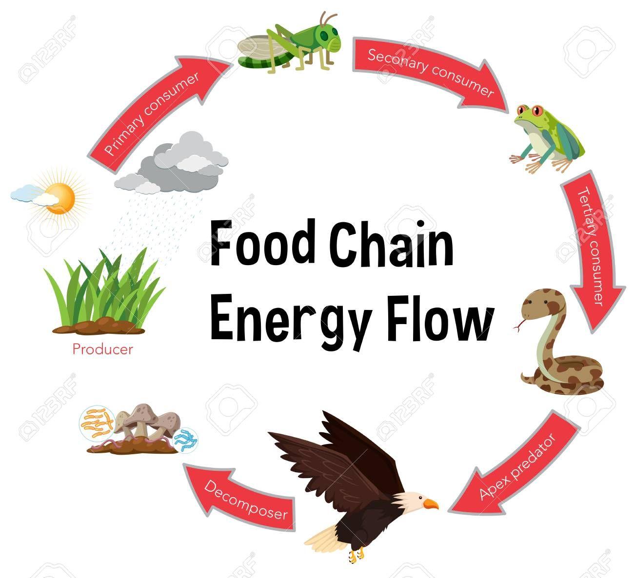 Food Chain Energy Flow Diagram Illustration Sponsored Energy Chain Food Illustration Diagram Food Chain Energy Flow Energy