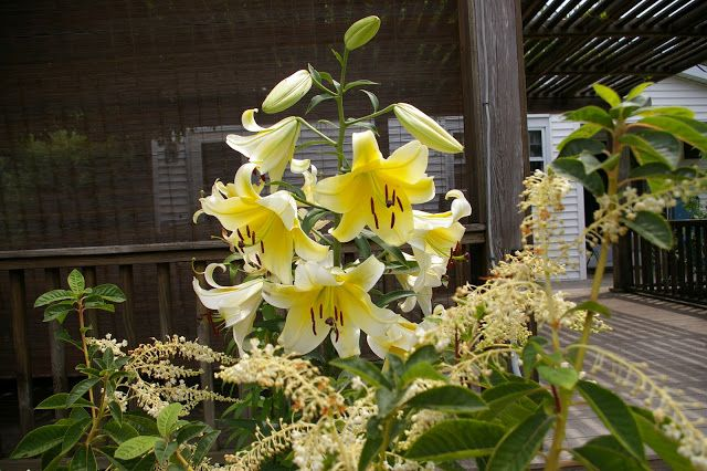 Natureworks... it's all about the plants: Give me Fragrant Lilies any Day