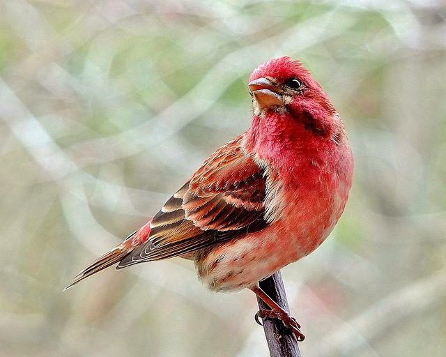 Purple Finch...male by jamesfburns, via Flickr