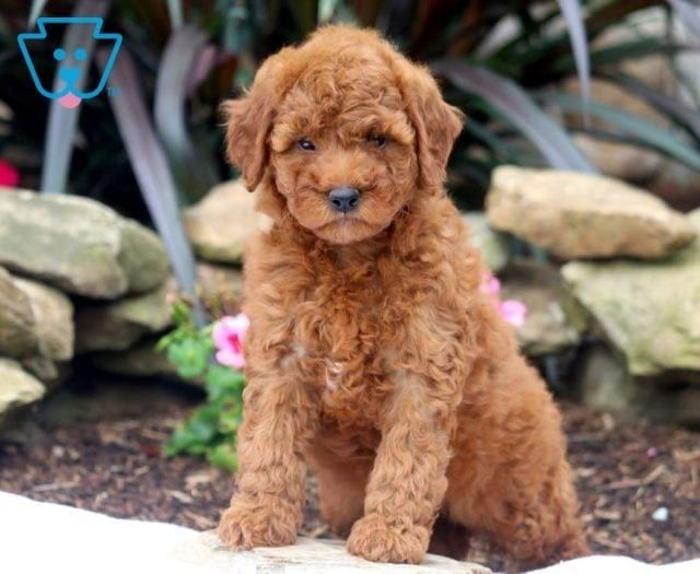 Lady Goldendoodle Miniature Puppy For Sale Keystone Puppies Miniature Puppies Goldendoodle Miniature Puppies
