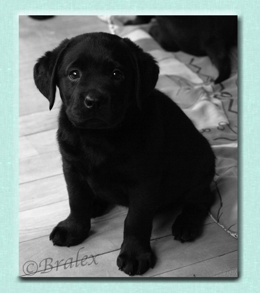 Bralex labradors and rescue bralexs word of honour