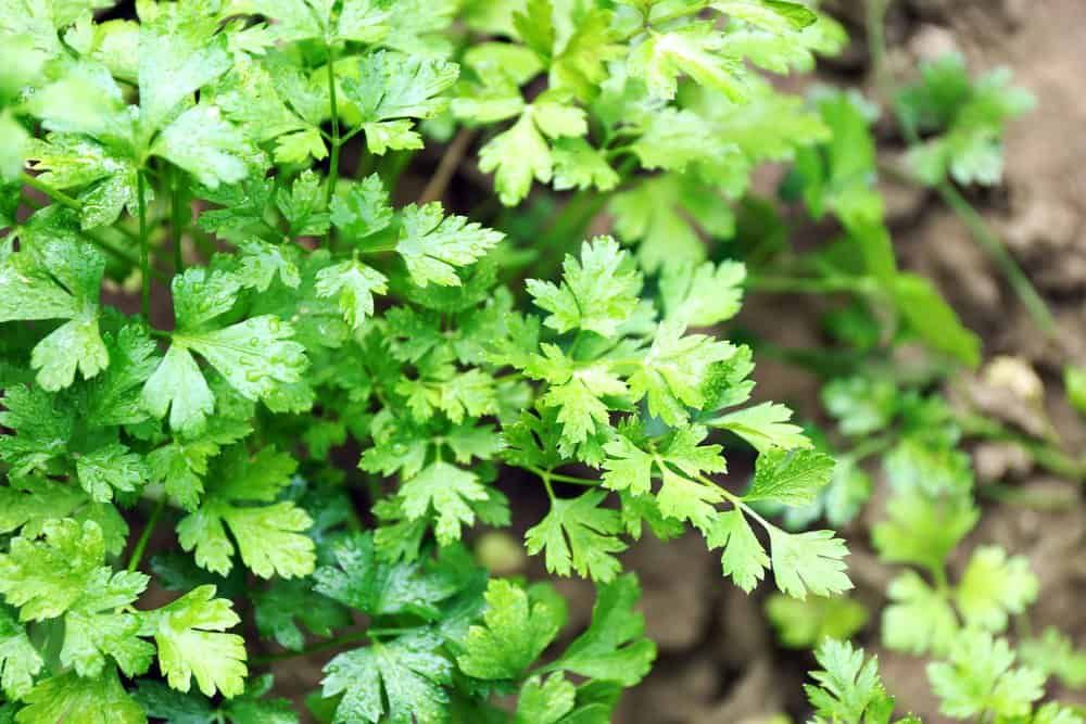 15 Herbs That Grow Well In The Shade is part of Garden remedies, Container herb garden, Planting herbs, Plants that love shade, Growing gardens, Herbs - Got a shady spot in your garden  These herbs thrive in shady spots so none of your garden has to go to waste