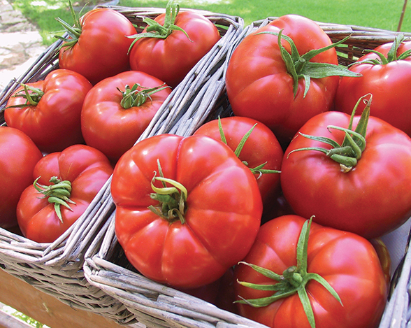 Giant Tree Tomato From Gardeners Choice