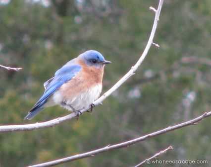 bluebird_oak_jan2013