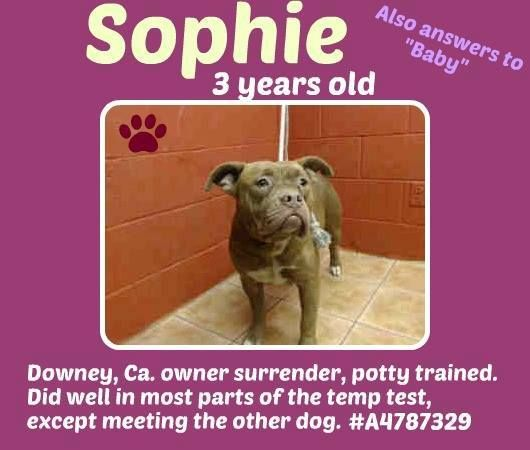 RESCUED --- WAY PAST DUE! NEEDS PLEDGES AND RESCUE NOW!!  A4787329 My name is Sophie and I'm an approximately 3 year old female pit bull. I am not yet spayed. I have been at the Downey Animal Care Center since December 27, 2014. I am available on December 31, 2014. You can visit me at my temporary home at D436. https://www.facebook.com/photo.php?fbid=795808347166166&set=a.621812584565744&type=3&theater