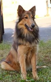Shollie Collie German Shepherd Collie Mix Unique Dog Breeds