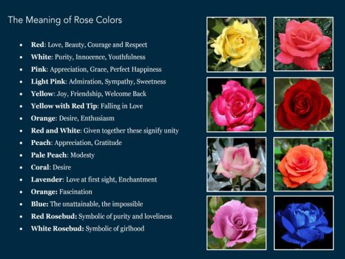 Pin by anne weaver on pink roses pinterest pink roses and flowers blue rose meaning mightylinksfo Choice Image
