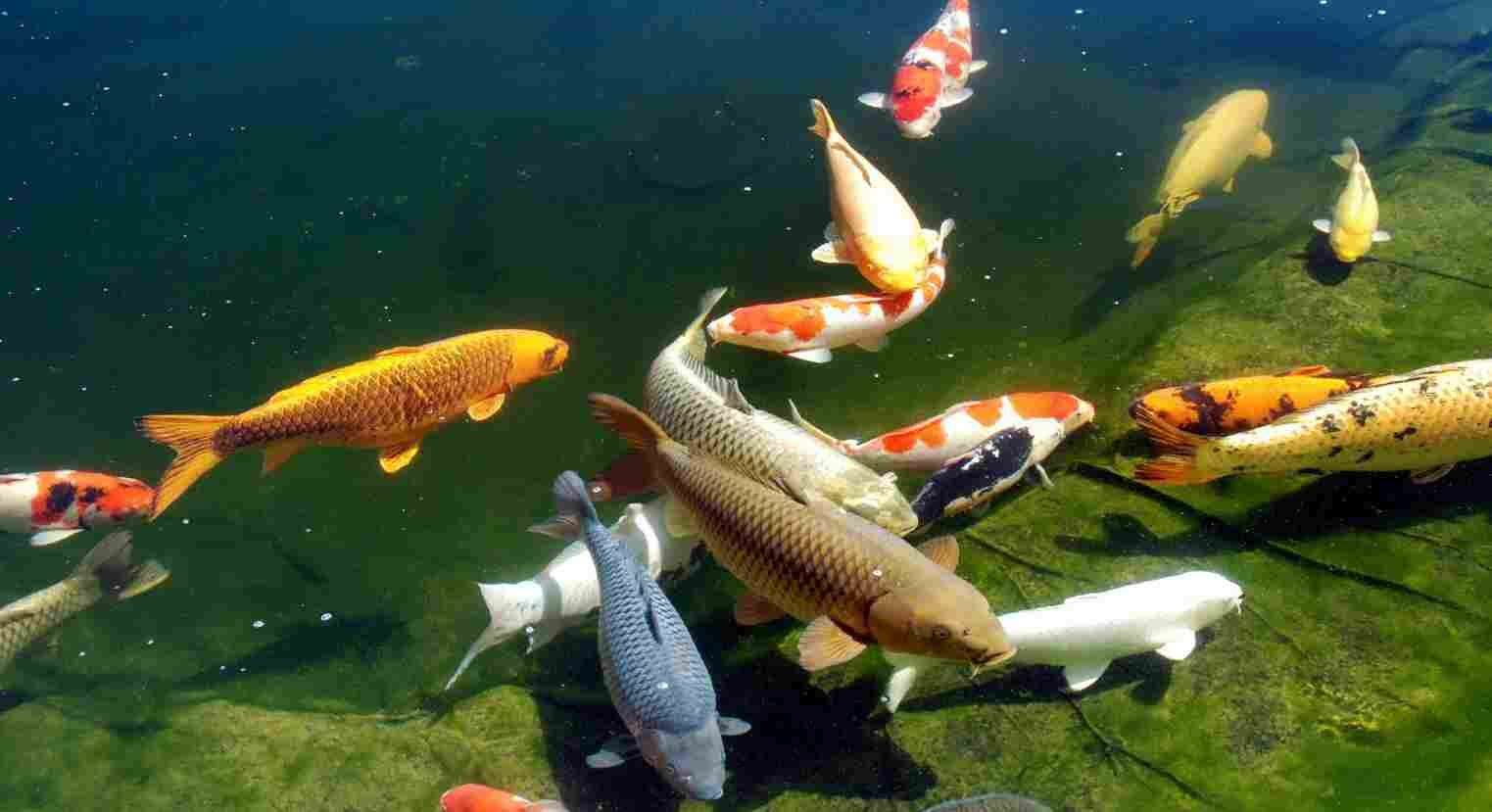Koi fish pond wallpaper hd koi fish in the pond koi for Fish pond images