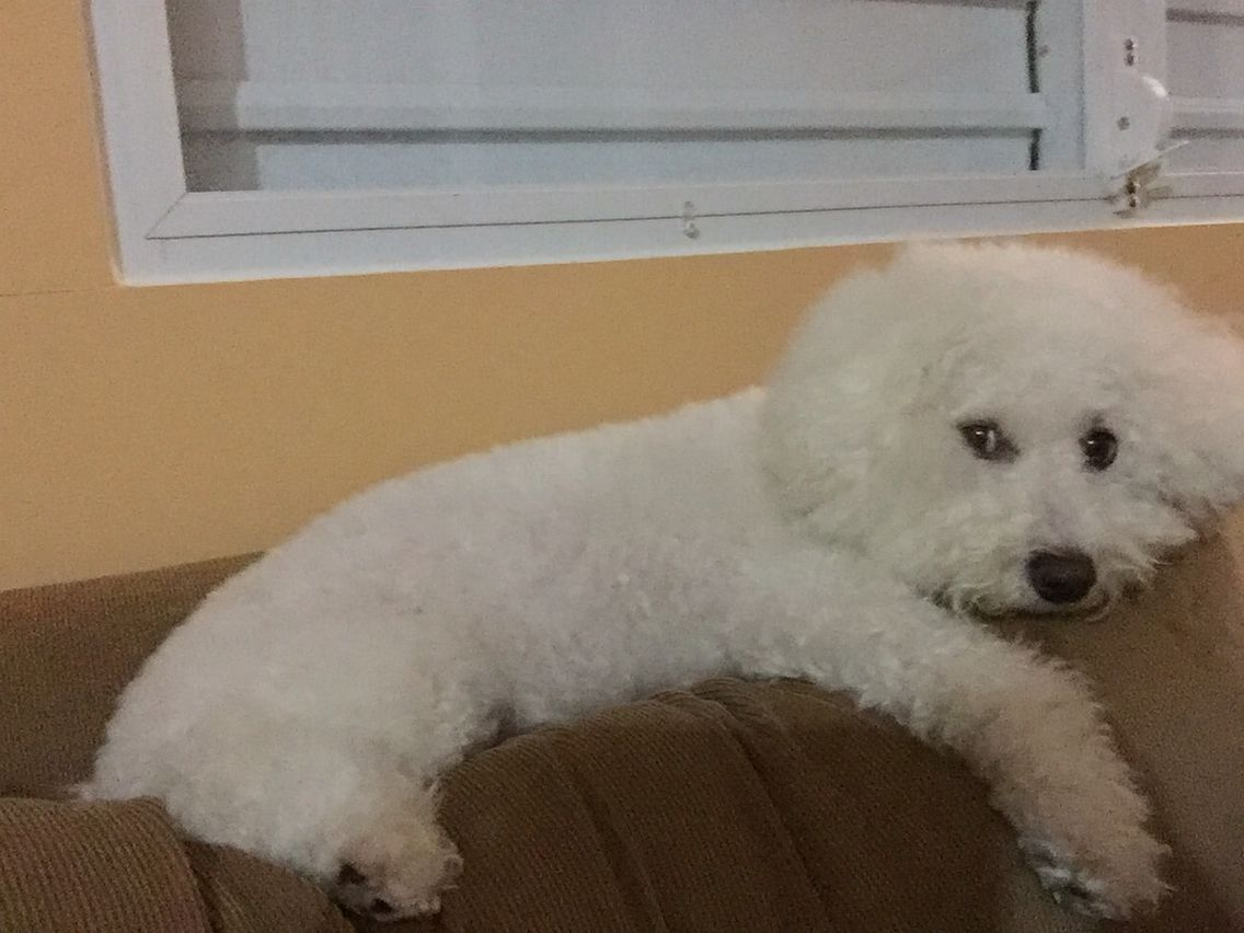 Shichon teddy bear puppies for sale mn