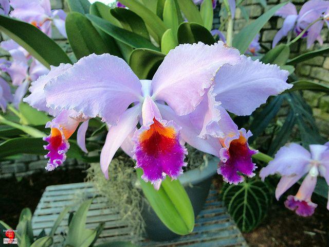 Orchids Cattleya Adela Orchidaceae Origin Costa Rica To Tropical South America Sc20120121 083 Beautiful Orchids Flower Garden Design Cattleya