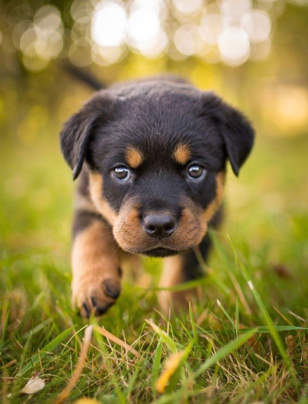 Sweet Face Puppies Rottweiler Puppies Cute Animals