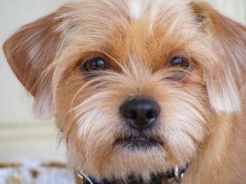 Schweenie Dog Breed Information And Pictures Dachshund Shih Tzu