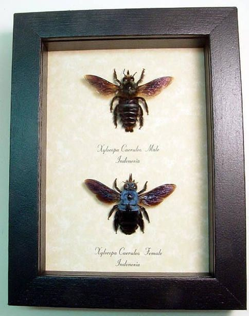 Real Framed Male Female Xylocopa Caerulea Pair Blue Carpenter