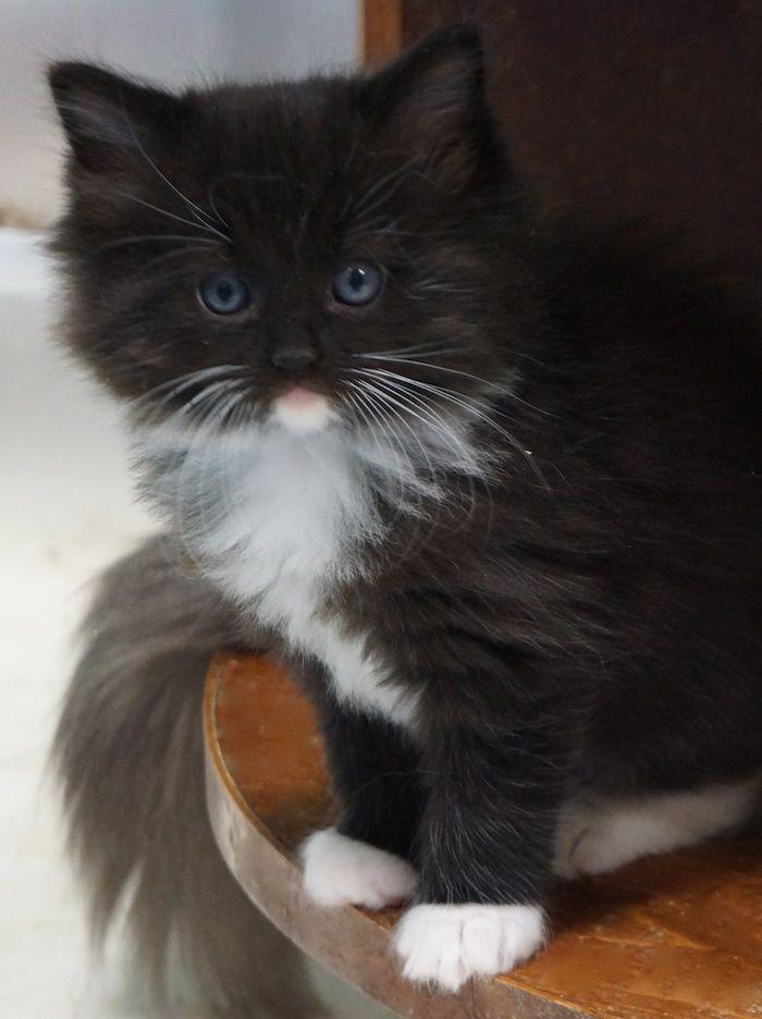 Ragdolls Of Texas Kittens Cutest Cute Cats And Kittens Cute Cats