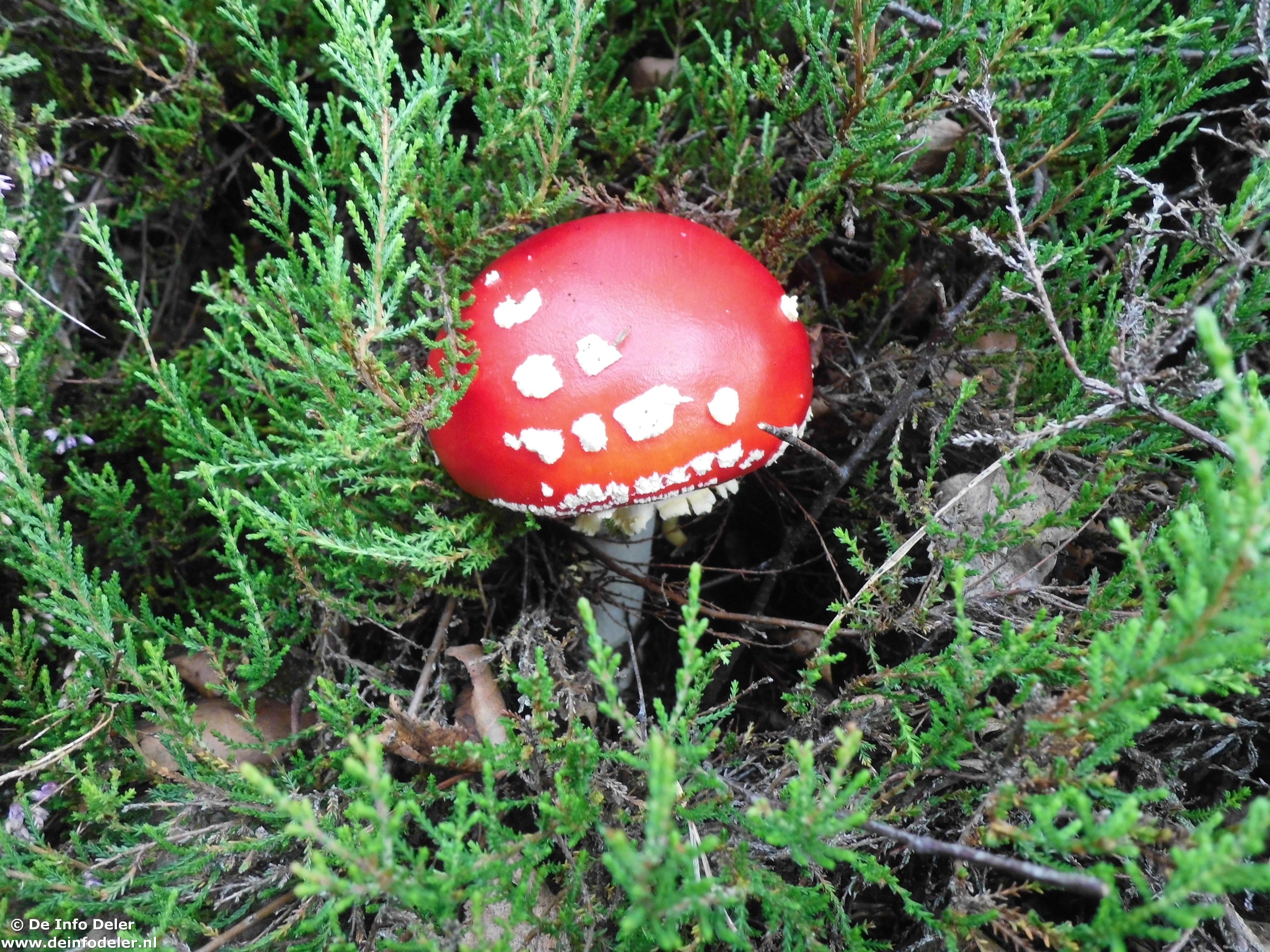 Echt niet eetbaar hoor die Vliegenzwam, maar wel mooi! Kijk ook eens naar het artikel over 'Eetbare paddenstoelen' op: http://www.deinfodeler.nl/news/waar-vind-je-informatie-over-eetbare-paddenstoelen/ #paddenstoelen #natuur #buiten