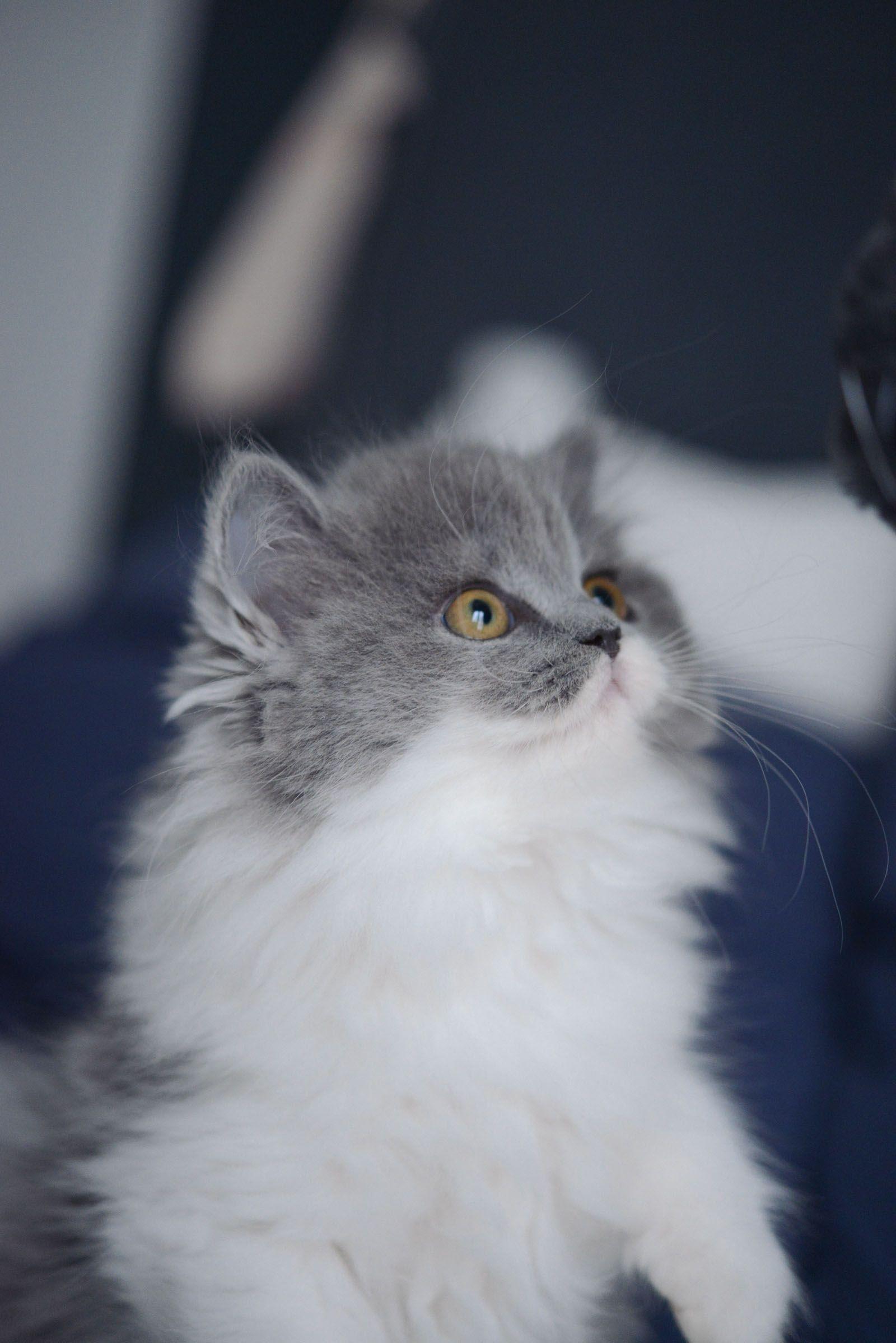 Chat gris bicolore bleu et blanc chaton british longhair