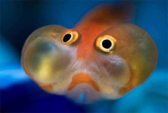 Bubble-eye-goldfish. I don't know why people like to keep these guys. They look so ..uncomfortable