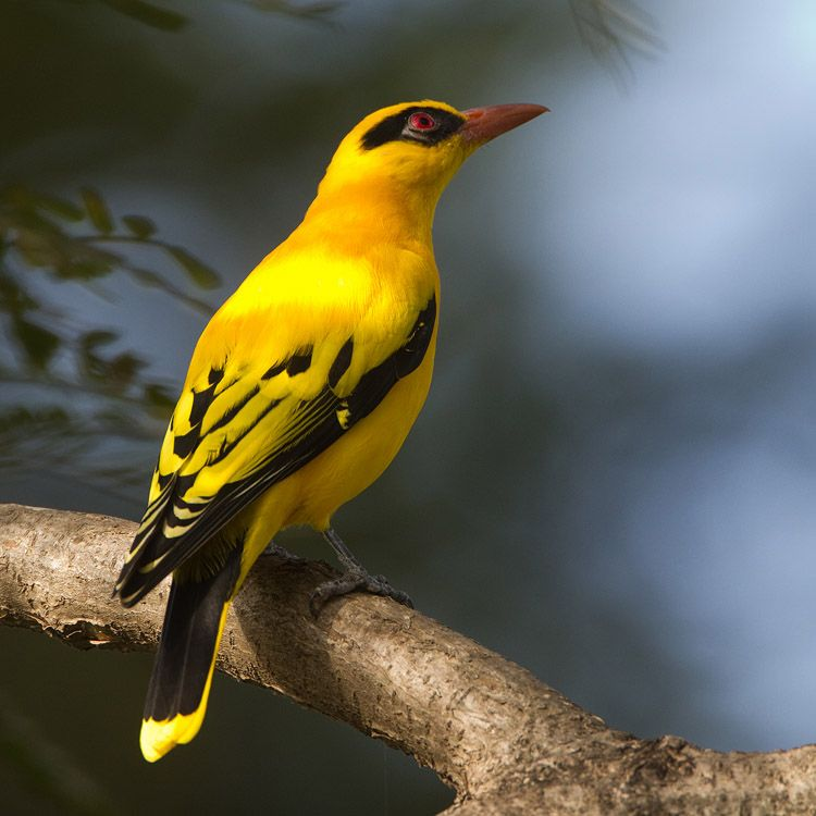 African Golden Oriole, Africa south of Sahara.
