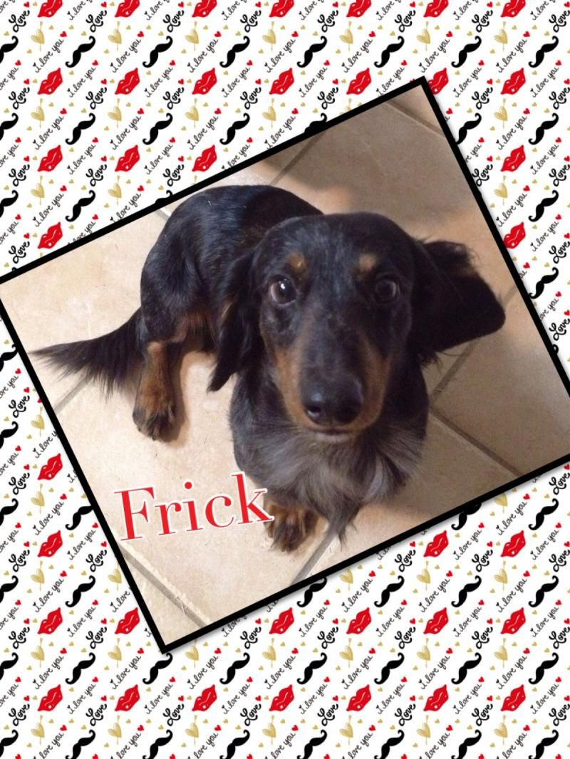 Petfinder Adoptable Dog Dachshund Moore Ok Frick Dog Adoption Animal Rescue Dachshund
