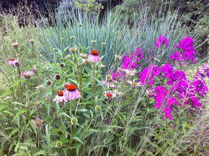 Echinacea and phlox