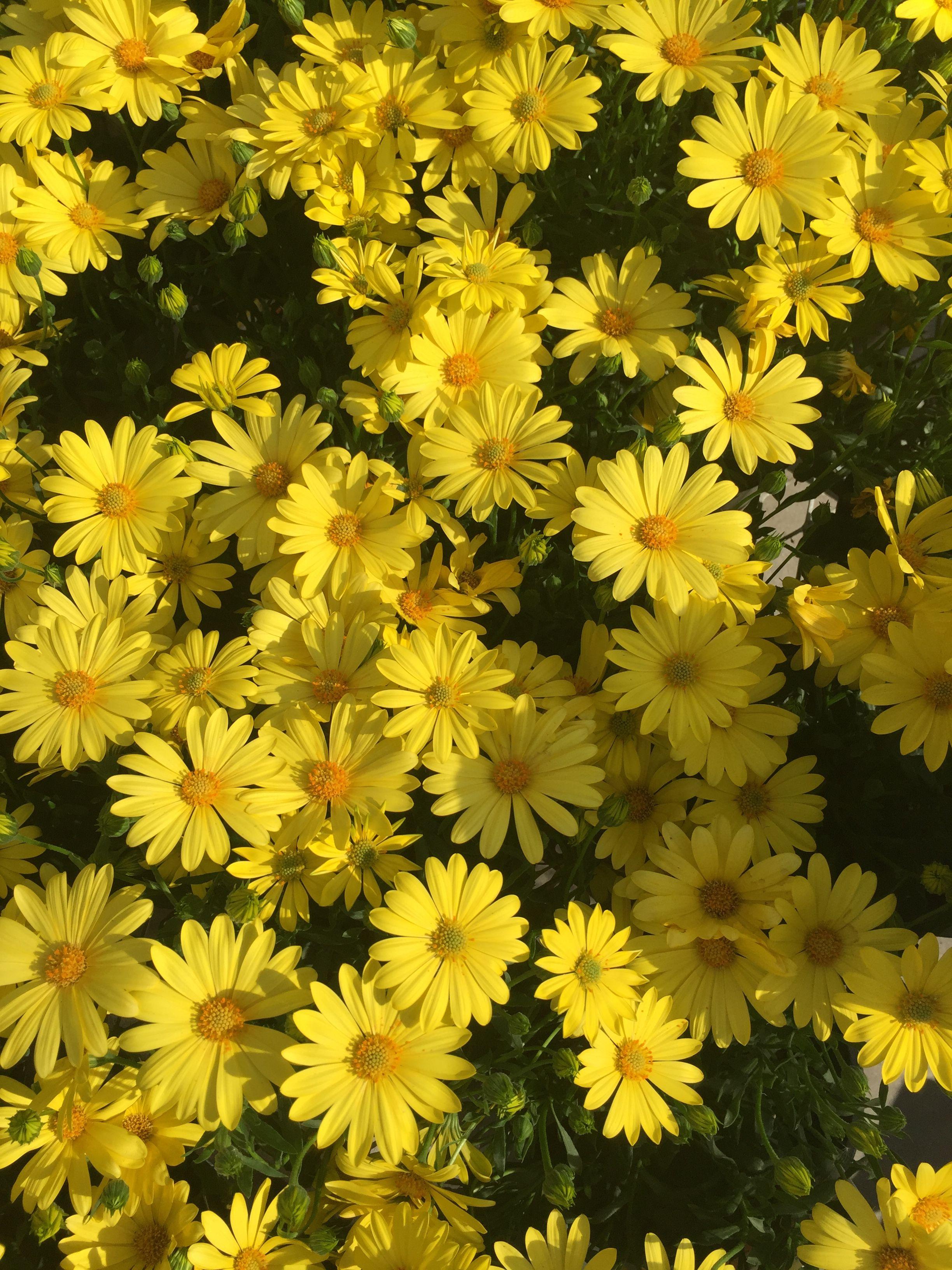 yellow daisies!! 🌼🌼🌼 yellow yellowflowers daisies