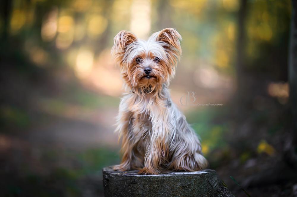 Hunde Naturburschen Pixelartistin Dog Hund Puppy Yorkshire