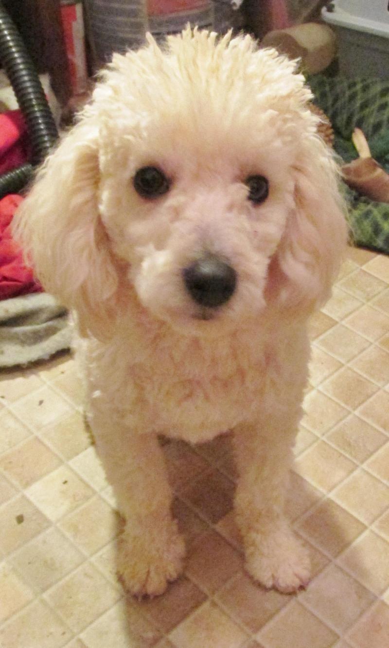 Adopt Milo New Pics Miniture Poodles Haircut On Poodles