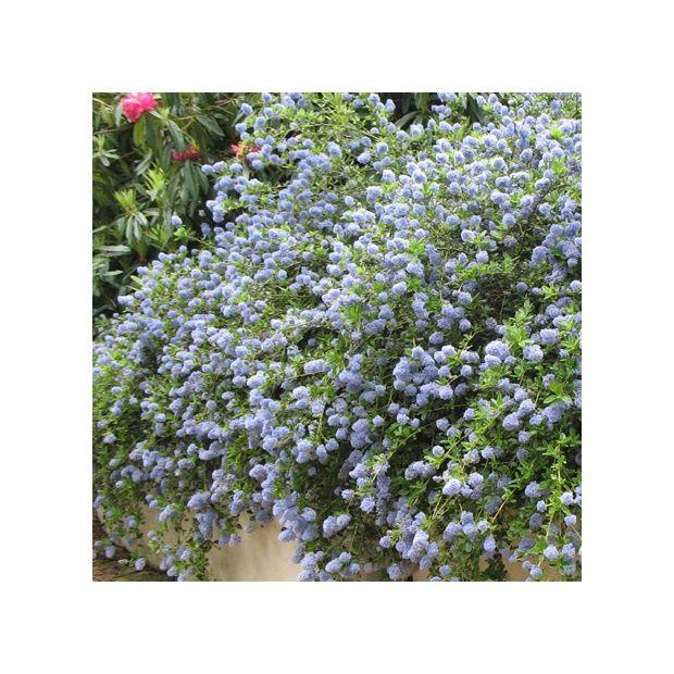 Arbuste persistant qui produit de tr s nombreuses fleurs for Arbuste persistant a fleurs bleues