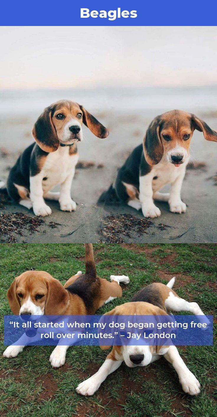 Beagle Puppies Beagles Beagles Dog Beagle Beagle Beagle