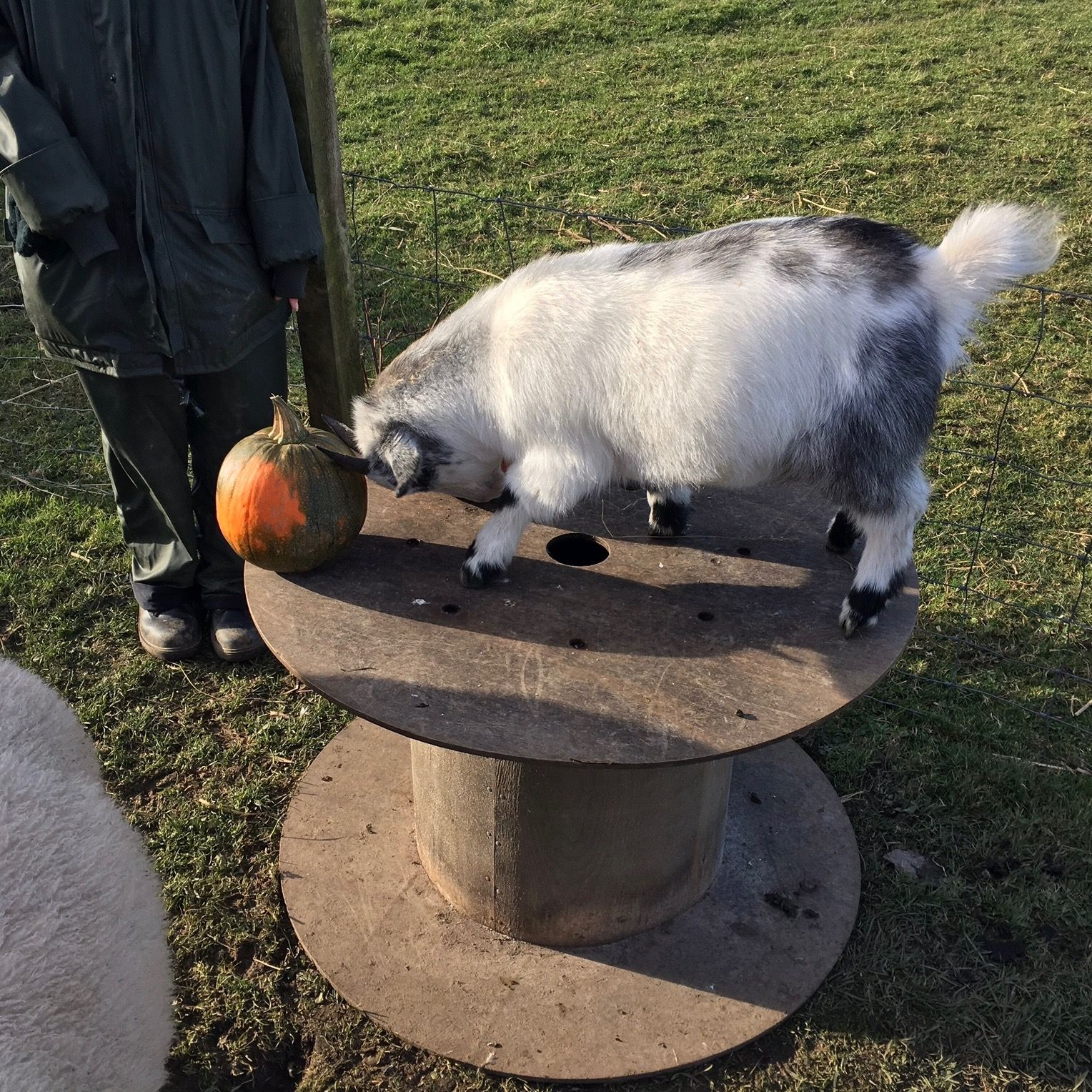Ty bashing pumpkins! For Halloween, the animals had fun