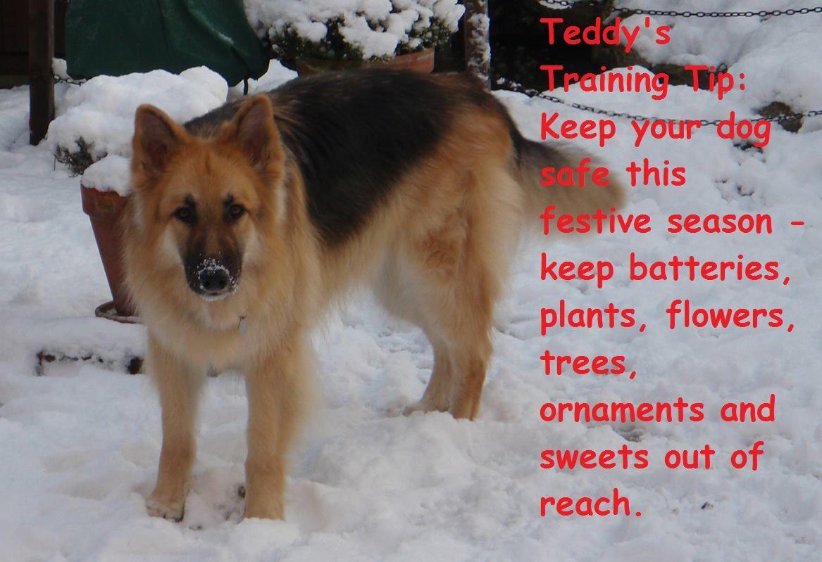 Teddy S Top Training Tip 01 12 2016 Dogs Teddy Dog Training Tips